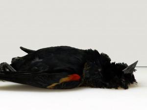 OMENS dead blackbird wide copy