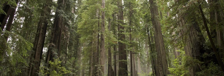 Climbing Redwood Giants